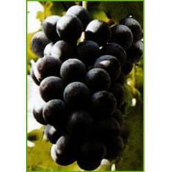 葡萄、葡萄一年六熟、葡萄图片