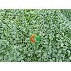 黄瓜苗-安信种苗-临沂哪里有黄瓜苗图片