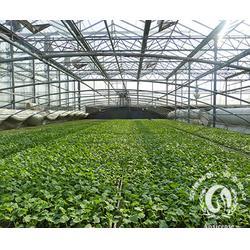 黄瓜苗基地,安信种苗,江门黄瓜苗图片