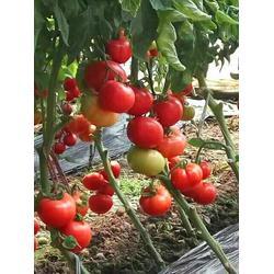 嫁接西红柿苗、淄博西红柿苗、安信种苗图片