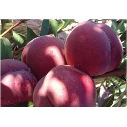 泰安映霜红桃苗,益丰果树苗木,映霜红桃苗种植技术图片