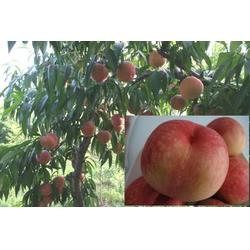 保定映霜红桃苗,益丰果树苗木,晚熟映霜红桃苗图片