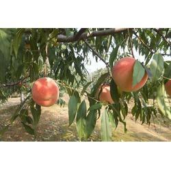 丽水永莲蜜桃,益丰果树苗木,永莲蜜桃图片