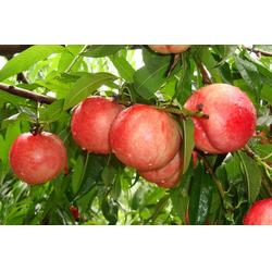 蚌埠映霜红桃苗|益丰果树苗木|映霜红桃苗前景如何图片