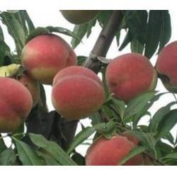 二老板桃桃苗哪有卖,合肥二老板,益丰果树苗木图片