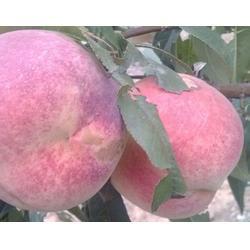 永莲蜜桃种植、佛山永莲蜜桃、益丰果树苗木图片