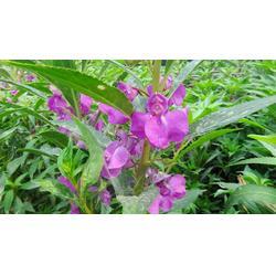 浙江急性子,中药材种子交易网,凤仙花种子哪里买苦参桔梗图片