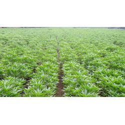 河南急性子,中药材种子交易网,急性子种植技术苦参桔梗图片