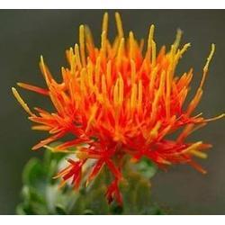求购红花种子、江苏红花种子、中药材种子交易网蛇床子党参图片