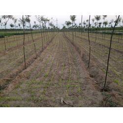 射干种子产地|中药材种子交易网|天津射干种子蛇床子党参图片
