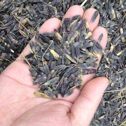 板蓝根种子购买,中药材种子交易网,云南板蓝根种子蛇床子党参图片