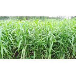 湖北薏米_薏米种植成本_安国市元泰种子经营部(优质商家)图片