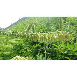 山东黄芪种子,中药材种子交易网,供应黄芪种子蛇床籽党参图片