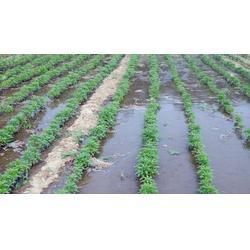 中药材种子交易网(图)|急性子种植季节|湖南急性子图片