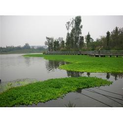 狐尾藻,狐尾藻,白洋淀绿荷水生植物图片