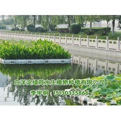 荷花,荷花盆景,绿荷水生(优质商家)图片