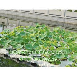 绿荷水生 荷花-江苏荷花图片