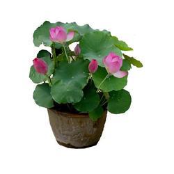 白洋淀绿荷水生植物(图)、荷花苗基地、雄安荷花苗图片