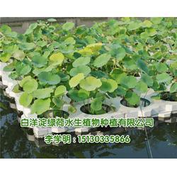 人工浮岛,人工浮岛植物,绿荷水生(优质商家)图片
