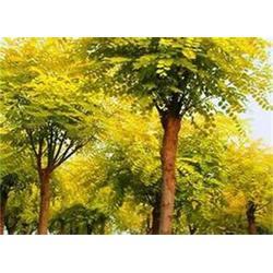 金枝槐-正禾园林-金枝槐的生长状态图片