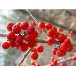 北美冬青基地_北美冬青_正禾园林图片