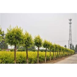 金叶榆基地、渭南金叶榆、正禾园林(多图)图片