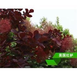 正禾园林_拉萨红栌_红栌小苗图片