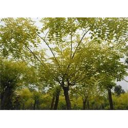 3cm金枝槐|周口金枝槐|正禾园林(多图)图片