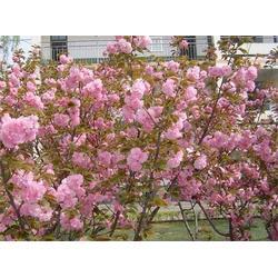 优质樱花-山西樱花-正禾园林图片