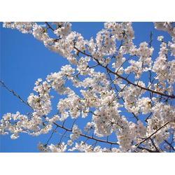 日照樱花、正禾园林、樱花基地图片