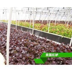 郴州市红栌,正禾园林(在线咨询),红栌组培苗图片