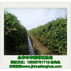 新品种葡萄苗哪里有卖|丰华葡萄苗|金华新品种葡萄苗图片