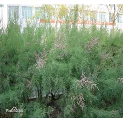 檉柳出售,黑龍江檉柳,鑫宇花卉圖片