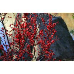 北美冬青小苗|陌上源林|北美冬青图片