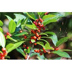 绿化苗木 北美海棠,陌上源林生物科技,廊坊北美海棠图片