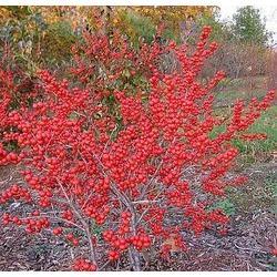 正禾园林,低价北美冬青,佳木斯市北美冬青图片