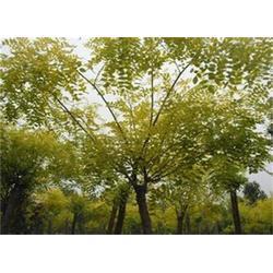 正禾园林 金枝槐的种植基地-金枝槐图片