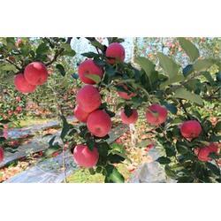苹果树反光膜、辽宁苹果树反光膜、京津镀铝膜图片