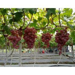 京津镀铝膜、果树专用反光膜、四川果树增色反光膜图片