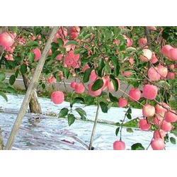 内蒙古哪里有卖苹果专用反光膜的,京津镀铝膜图片