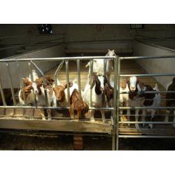 新民卢屯公社-容易繁殖的羊波尔山羊-波尔山羊图片