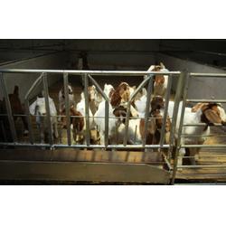 安全的黑猪肉-沈阳新民卢屯公社(在线咨询)阜新黑猪图片