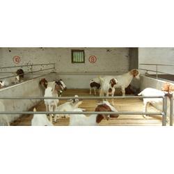 新民市卢屯公社养殖场(图)|波尔山羊圈养|山羊图片
