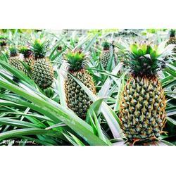 鹏瑞农业开发(图)、海南菠萝、黑龙江菠萝图片