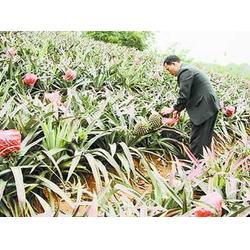 海南菠萝,鹏瑞农业开发(在线咨询),广西菠萝图片