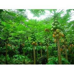 鹏瑞农业(图)|海南菠萝生产地|海南菠萝图片