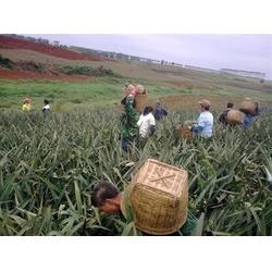 鹏瑞农业开发(图)|菠萝多少钱一斤|江苏菠萝图片
