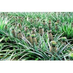吃菠萝的好处和坏处,鹏瑞农业开发(在线咨询),河源菠萝图片