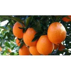 鹏瑞农业(图),赣南脐橙厂家,廊坊赣南脐橙图片