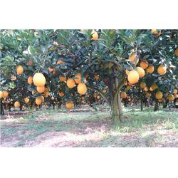 北京脐橙、鹏瑞农业开发、脐橙商图片
